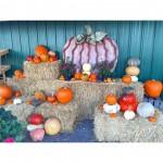 Pumpkin picking🎃