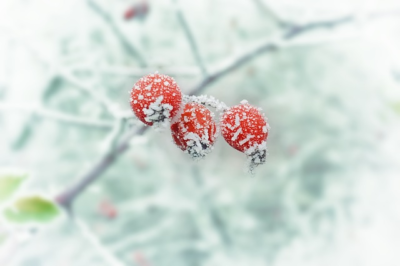 New Year Season winter berries