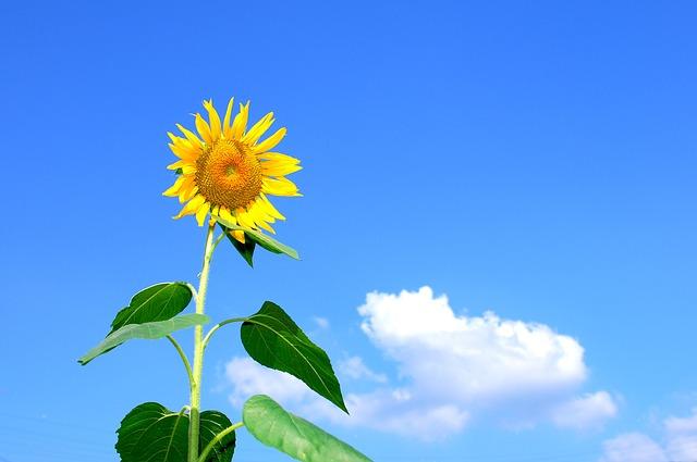 New Year Season summer sunflower