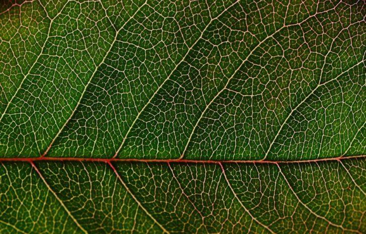 knotweed vs Your Home japanese knotweed leaf