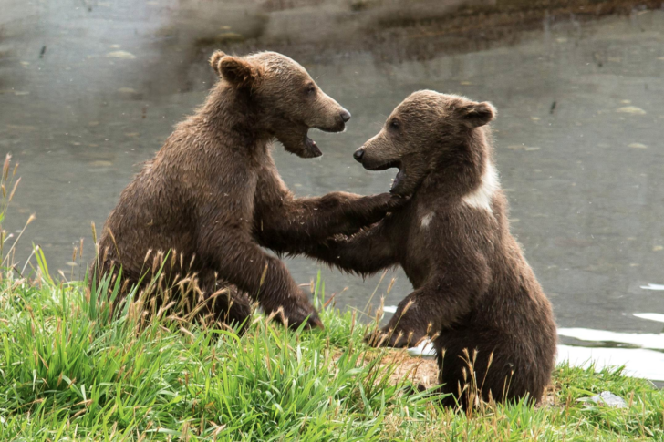 Love Mother Nature brown bears wrestling