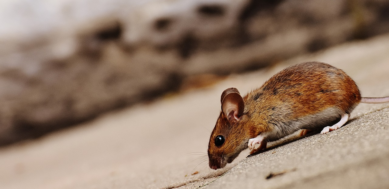 Pest Proof Your Home mouse sniffing