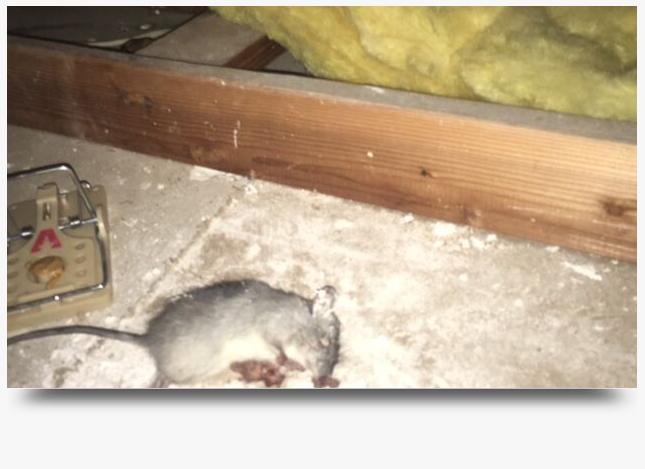 Rats In Attic without being dead