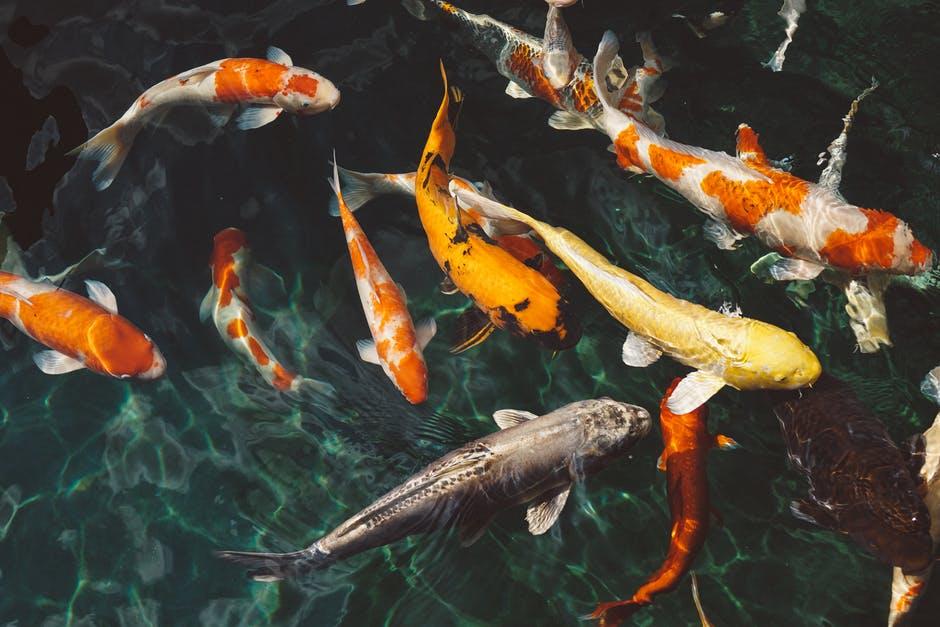 Indoor-Outdoors fish in pond