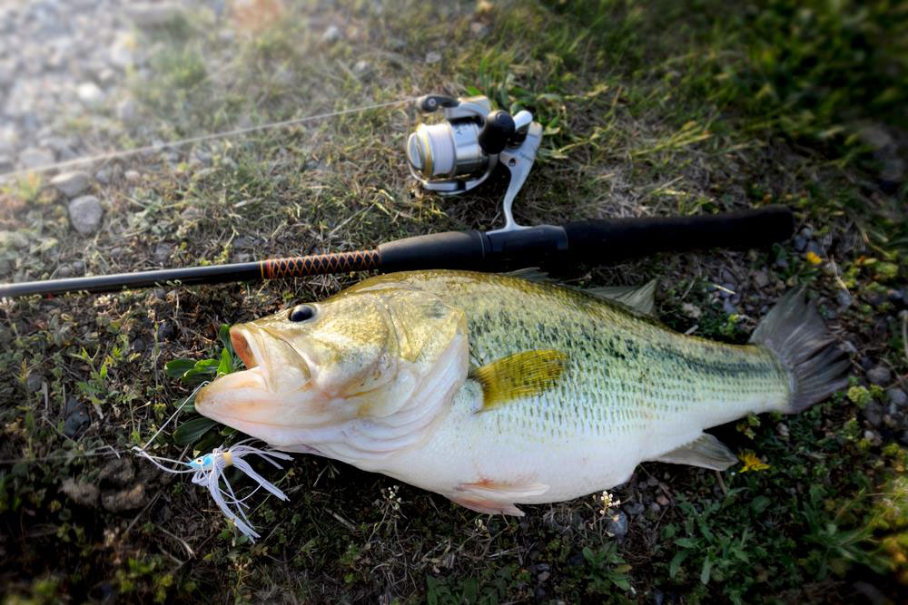 Largemouth Bass on land next to fishing pole