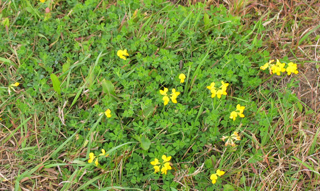 Control Lawn Weeds yellow dandelions