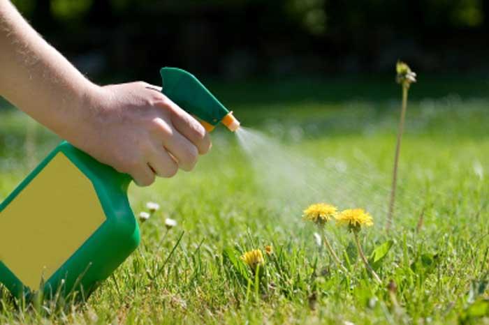 Control Lawn Weeds spraying dandelions