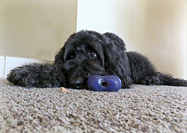 How to Clean Your Carpet When You Have Pets