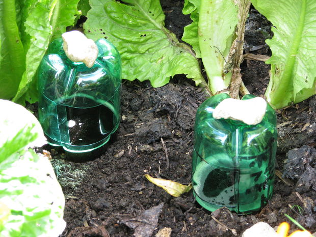 garden pests under jars