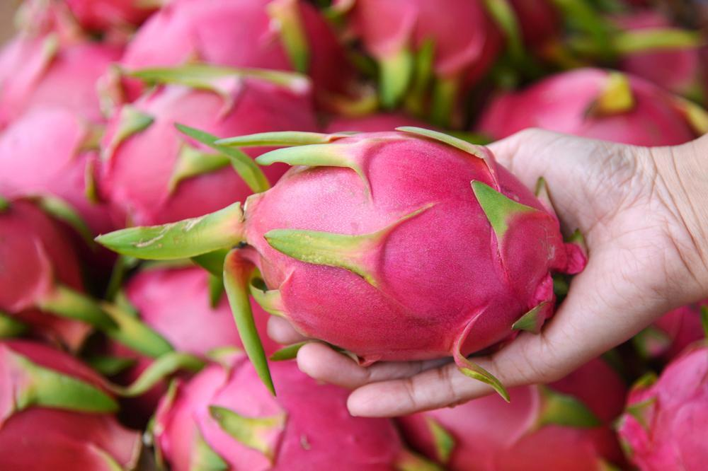 Dragon Fruit held in the palm of the hand