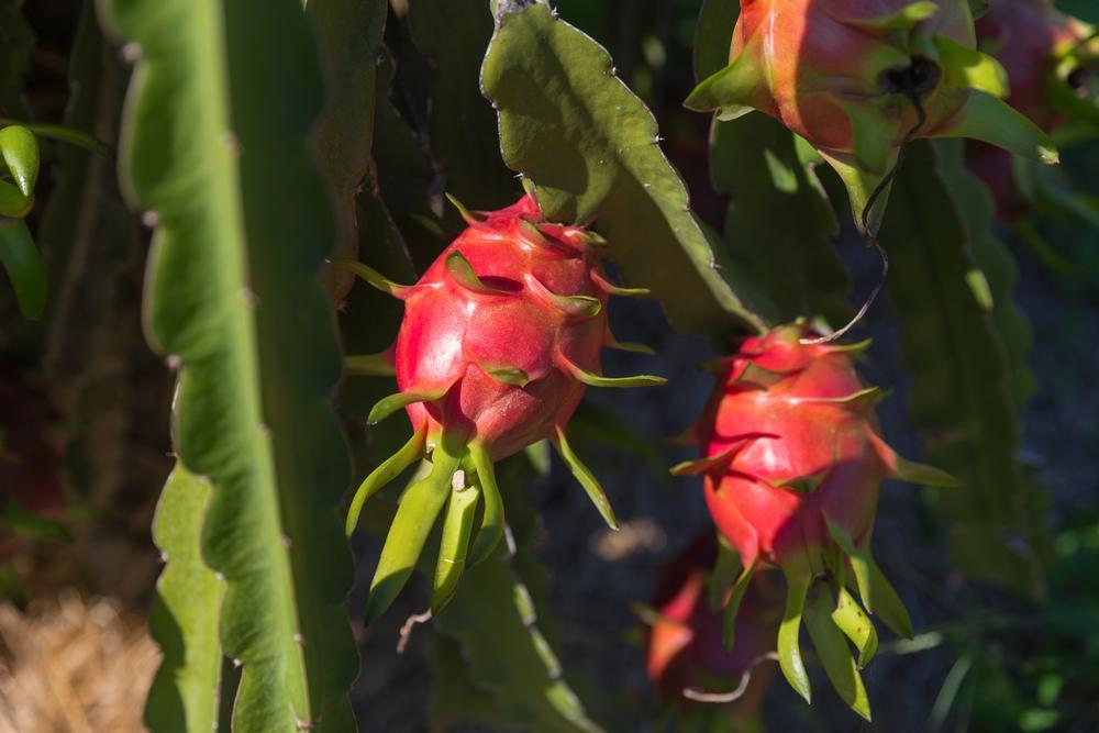 Dragon Fruit ready to be picked on plantation