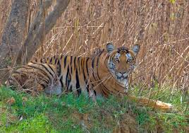 Tadoba Tiger in wildlife
