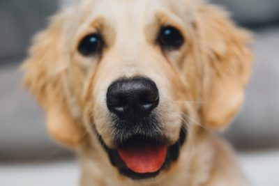 How Does the Law Protect Emotional Support Dogs?