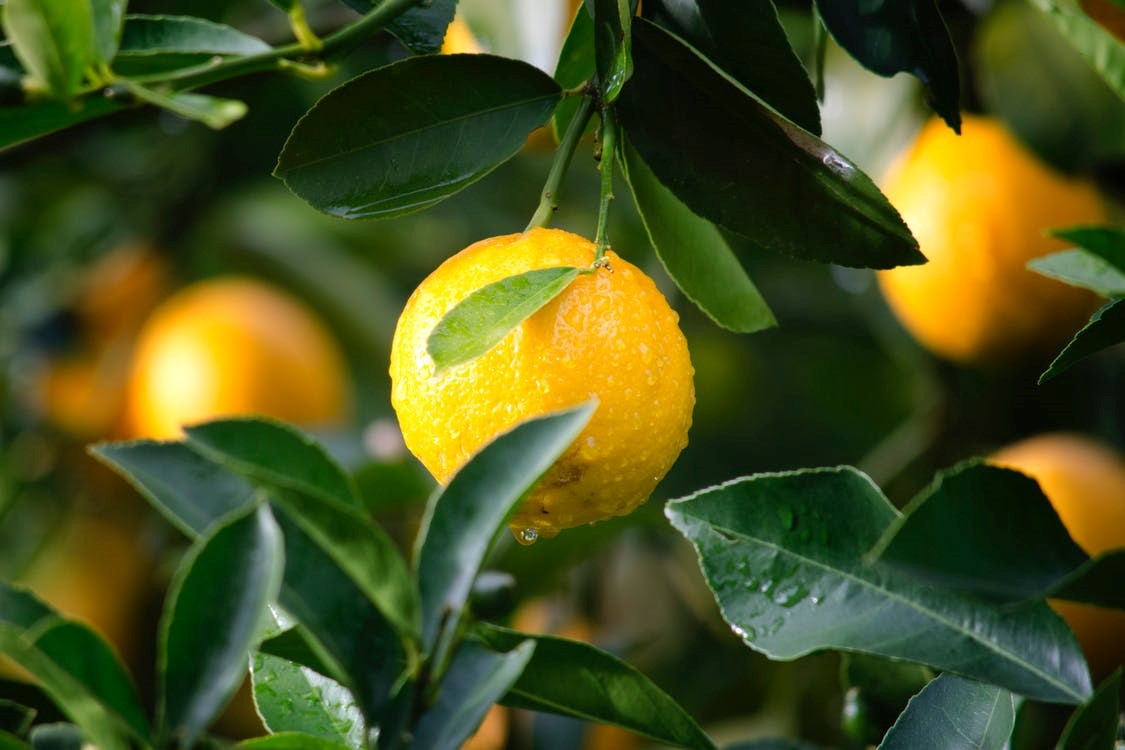 Improving your home with plants lemon tree