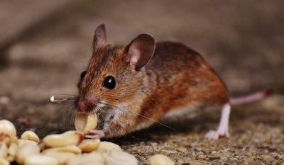 Rats in your home – what should you do?