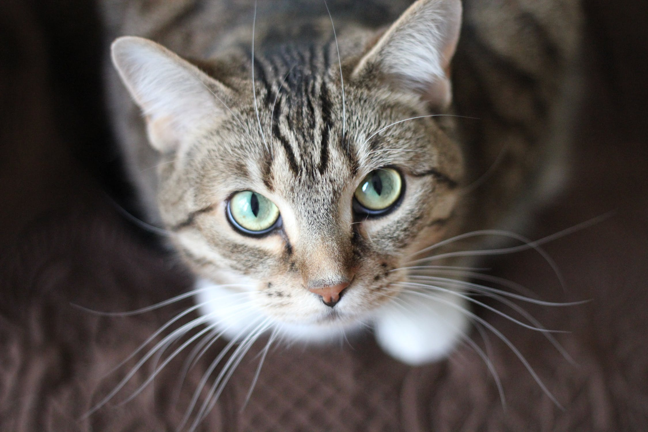 The Top 3 Short Haired Cat Breeds to Own