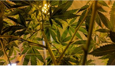 9 Easy Steps to Grow the Best Marijuana Indoors