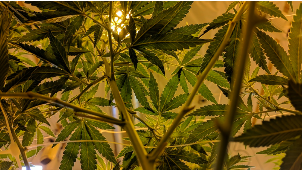9 Easy Steps to Grow the Best Marijuana Indoors