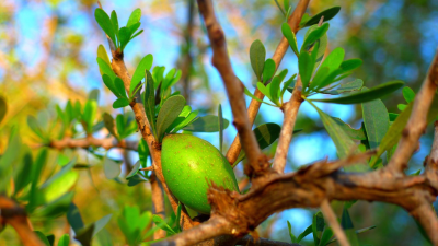Argan Oil - Morocco's Liquid Gold