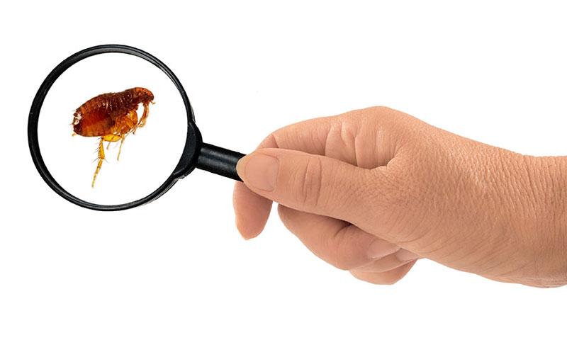 control flea