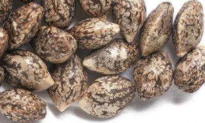 Online Marijuana Seeds Market – Beginners Introduction to Buying Cannabis Seeds Online
