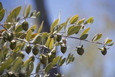 Oil for jojoba tree