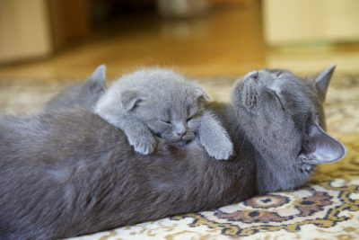 Top 10 Most Expensive Cat Breeds for Pet Lovers