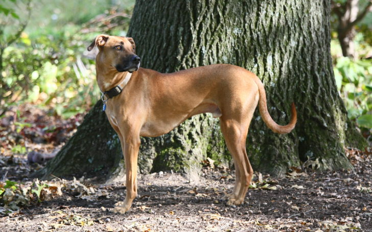 Black Mouth Cur – Are They the Perfect Household Pets?