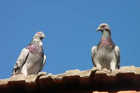 How can you prevent pigeon problems at your home or business?