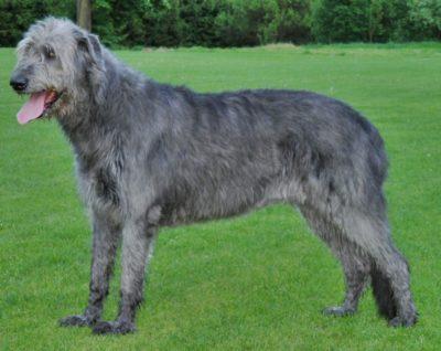 Irish Wolfhound largest dog breed