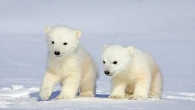 White Polar Bear Puppies? Yeah, That's A Real Thing