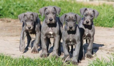 Are You Looking to Buy Great Dane Puppies?