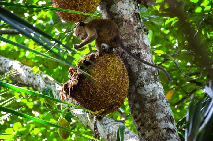 benefits of jackfruit