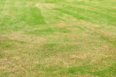 lawn pests