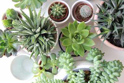 How long do succulents live?
