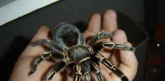 Zebra Knee Tarantula Care
