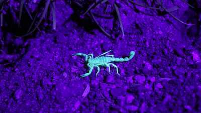 Bark Scorpions