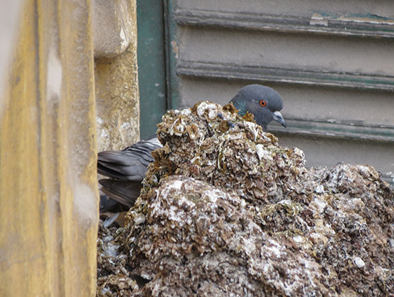 How dangerous is pigeon guano