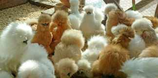 silkie chicken eggs