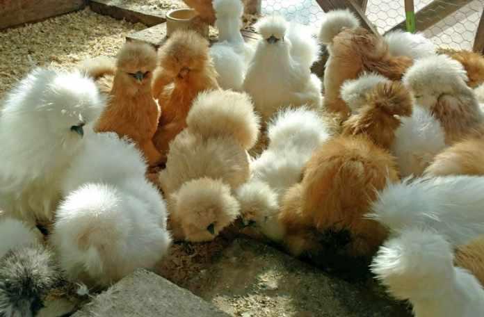 silkie chicken eggs