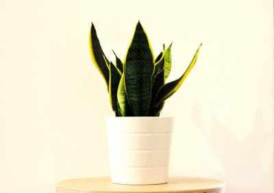 Snake plants benefits